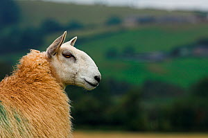 Welsh Mule sheep from a Welsh Mountain ewe sired by a Bluefaced Leicester ram. - Visuals Unlimited