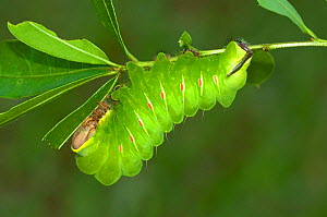 Caterpillar larva of the Silkworm moth (Antheraea frithi)  -  Visuals Unlimited