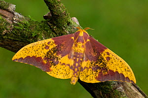 Imperial Moth male (Eacles imperialis decoris) Costa Rica - Visuals Unlimited