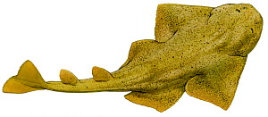 Illustration of Angelshark (Squatina squatina), Squatinidae. Endangered / threatened species. - Ian Coleman