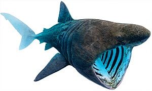 Illustration of Basking shark (Cetorhinus maximus) feeding. Endangered / threatened species.  -  Ian Coleman