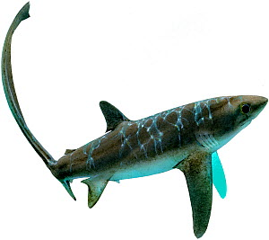 Illustration of Big-eye thresher shark (Alopias superciliosus), Alopiidae. Endangered / threatened species. - Ian Coleman