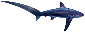 Illustration of Common thresher shark (Alopias vulpinus), Alopiidae. Endangered / threatened species.  -  Ian Coleman