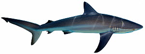 Illustration of Dusky shark (Carcharhinus obscurus), Carcharhinidae. Endangered / threatened species.  -  Ian Coleman