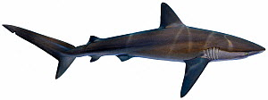 Illustration of Galapagos shark (Carcharhinus galapagensis), Carcharhinidae. Endangered / threatened species.  -  Ian Coleman