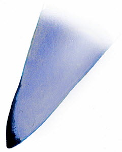 Illustration of pectoral fin of Galapagos shark (Carcharhinus galapagensis). Endangered / threatened species.  -  Ian Coleman