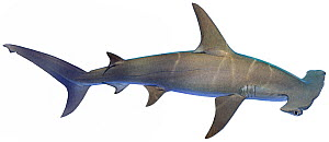 Illustration of Great hammerhead shark (Sphyrna mokarran), Sphyrnidae. Endangered / threatened species.  -  Ian Coleman