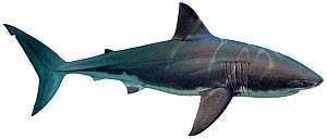Illustration of Great white shark (Carcharodon carcharias), Lamnidae. Endangered / threatened species. - Ian Coleman