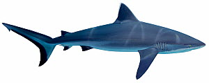 Illustration of Grey reef shark (Carcharhinus amblyrhynchos), Carcharhinidae. Endangered / threatened species.  -  Ian Coleman