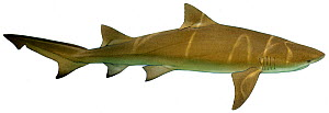 Illustration of Lemon shark (Negaprion brevirostris), Carcharhinidae. Endangered / threatened species.  -  Ian Coleman