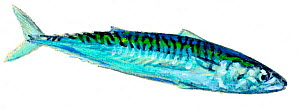 Illustration of Mackerel (Scomber scombrus), Scombridae.  -  Ian Coleman