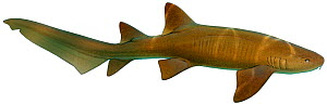 Illustration of Nurse shark (Ginglymostoma cirratum), Ginglymostomatidae.  -  Ian Coleman