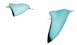 Illustration of fins of Scalloped hammerhead shark (Sphyrna lewini). Endangered / threatened species.  -  Ian Coleman