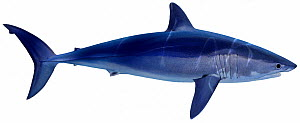 Illustration of Shortfin mako shark (Isurus oxyrinchus), Lamnidae . Endangered / threatened species.  -  Ian Coleman