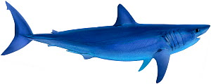 Illustration of Shortfin mako shark (Isurus oxyrinchus), Lamnidae. Endangered / threatened species.  -  Ian Coleman