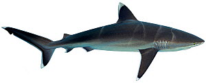 Illustration of Silvertip shark (Carcharhinus albimarginatus), Carcharhinidae. Endangered / threatened species.  -  Ian Coleman