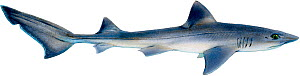 Illustration of Smoothhound (Mustelus mustelus), Triakidae.  -  Ian Coleman