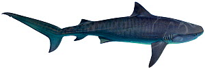 Illustration of Tiger shark (Galeocerdo cuvier), Carcharhinidae. Endangered / threatened species.  -  Ian Coleman