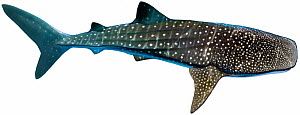 Illustration of Whale shark (Rhincodon typus), Rhincodontidae. Endangered / threatened species.  -  Ian Coleman