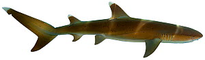 Illustration of Whitetip reef shark (Triaenodon obesus), Carcharhinidae. Endangered / threatened species.  -  Ian Coleman