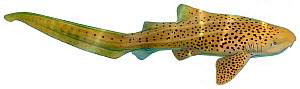Illustration of Zebra shark / Carpet shark (Stegostoma fasciatum), Stegostomatidae. Endangered / threatened species.  -  Ian Coleman