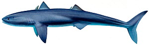 Illustration of Cladoselache (prehistoric shark) - extinct.  -  Ian Coleman