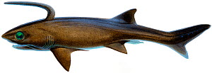 Illustration of Falcatus (prehistoric shark) - extinct.  -  Ian Coleman