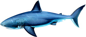 Megalodon (prehistoric shark) - extinct, lived approximately 25 to 1.6�million years ago.  -  Ian Coleman