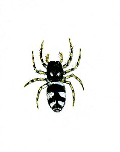 Illustration of Zebra spider (Salticus scenicus) - jumping spider.  -  Chris Shields
