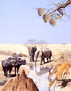 Illustration of wildlife at African waterhole: Water buffalo (Syncerus caffer),gazelle,African lion (Panthera leo),African elephant (Loxodonta sp), weaver birds (Ploceidae).  -  Chris Shields