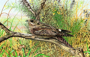 Illustration of European nightjar (Caprimulgus europaeus) perched in grassland with moth and gorse flowers.  -  Chris Shields