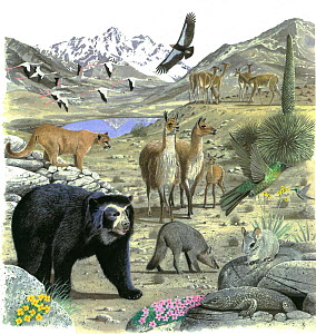 Illustration of wildlife of the Andes: South America Alpaca (Vicugna pacos),centre; Cougar / Puma / Mountain lion / Mountain cat / Catamount / Panther (Puma concolor),left; Spectacled / Andean bear (...  -  Chris Shields