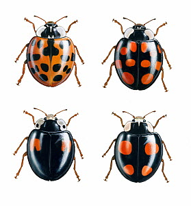 Illustration of Harlequin ladybird (Harmonia axyridis), four colour variants.  -  Chris Shields