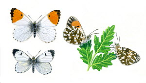 Illustration of Orange tip butterfly (Anthocharis cardamines),resting and perched on leaf; male top, female below.  -  Chris Shields