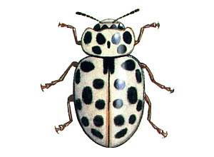 Illustration of Water ladybird (Anisosticta novemdecimpunctata / 19-punctata), winter form.  -  Chris Shields