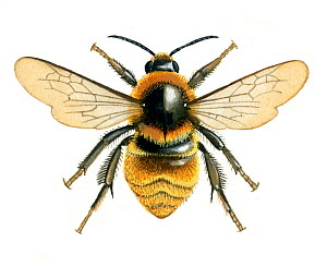 Illustration of Great yellow bumblebee / Bumble bee (Bombus distinguendus),. - Chris Shields