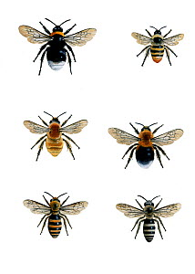 Illustration of British bumblebees (Bombus sp.).~Clockwise from top left: Cuckoo bee (Bombus (Psithyrus) sylyestris),Carder bee (Bombus sylvarum),New garden bumblebee or Tree bumblebee (Bombus hypnoru... - Chris Shields