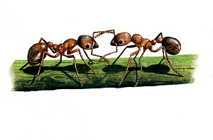 Illustration of Red ant (Myrmica rubra), Formicidae. attacking ant on stem.  -  Chris Shields