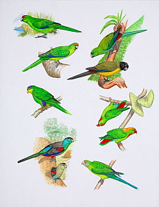 Illustration of extinct parrots. Clockwise from top right: society parakeet (Cyanoramphus ulietanus) extinct c 1774,Raiatea,Society Islands; black-fronted Parakeet (Cyanoramphus zealandicus ) extinct... - Julian Hume