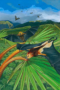 Illustration of Mauritius fruit bat / Black-spined fruit bat (Pteropus niger) flying over red latan palm (Latania commersoni); the only fruit bat still to occur on the island of Mauritius; endangered...  -  Julian Hume