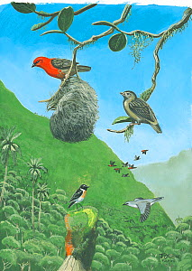 Illustration of extinct and extant birds,Reunion Island,Indian Ocean. Reunion fody (Foudia delloni), male (top right) female (top left) (extinct 1674); with Reunion stonechat (Saxicola tectes) (bottom...  -  Julian Hume