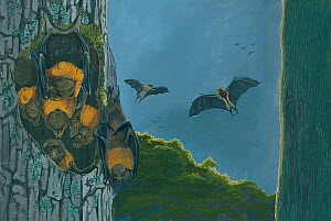 Illustration of Rougette bat (Pteropus subniger) - roosting (extinct 1854), compared with golden bat (P. rodricensis) (centre) and black-spined flying-fox (P. niger) (right). The rougette was one of o...  -  Julian Hume