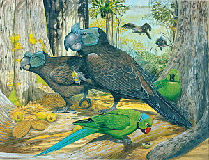 Illustration of Broad billed parrot / Raven parrot (Lophopsittacus mauritianus) - extinct 1674 - male right,female left,with echo parakeet (Psittacula echo),the only surviving Mascarene parrot (critic... - Julian Hume