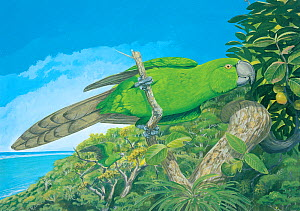 Illustration of Rodrigues parrot (Necropsittacus rodericanus) - extinct 1761 - perched on ~Bois d�olive (Cassine orientale). Island of Rodrigues (Rodriguez), a dependency of Mauritius. - Julian Hume