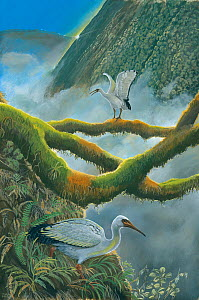 Illustration of Reunion solitaire / Reunion sacred ibis (Threskiornis solitarius) - extinct - on the side of the Piton des Neiges volcano,island of Reunion, Mauritius.  -  Julian Hume