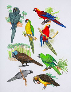Illustration of extinct parrots. Clockwise from top right: Cuban red macaw (Ara tricolor) - extinct 1864,Cuba,West Indies; Jamaican red macaw (Ara gossei) - extinct 1765,Jamaica,West Indies; Rodrigues... - Julian Hume