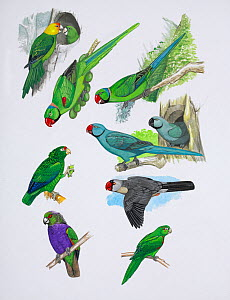 Illustration of extinct parrots. Clockwise from top right: Reunion parakeet (Psittacula eques) - extinct 1760,Reunion Island,Mascarenes; Rodrigues parakeet (Psittacula exsul) - extinct 1874,Rodrigues...  -  Julian Hume