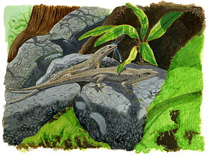 Illustration of Reunion Island skink (Leiolopisma ceciliae) - extinct. Closely related to the extant Telfair's skink (Leiolopisma telfairi) from Mauritius. May have died out due to predation from intr...  -  Julian Hume