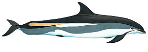 Illustration of Atlantic white-sided dolphin (Lagenorhynchus acutus), Delphinidae (Wildlife Art Company).  -  Martin Camm / Carwardine
