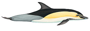 Illustration of Short-beaked common dolphin / Criss-cross dolphin (Delphinus delphis), Delphinidae (Wildlife Art Company).  -  Martin Camm / Carwardine